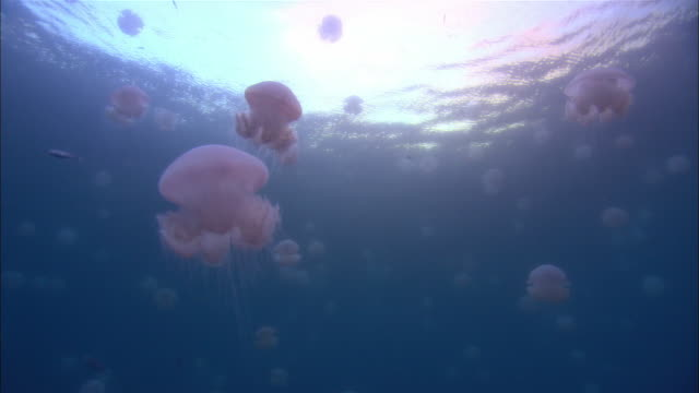 ms, la, papua new guinea, laudi jelly fishes swimming in ocean - tentacle stock videos & royalty-free footage