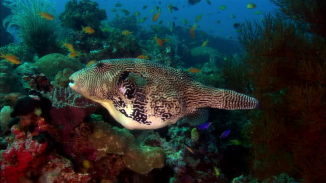 ms, papua new guinea, map puffer and other fishes by coral reef - gruppo medio di animali video stock e b–roll