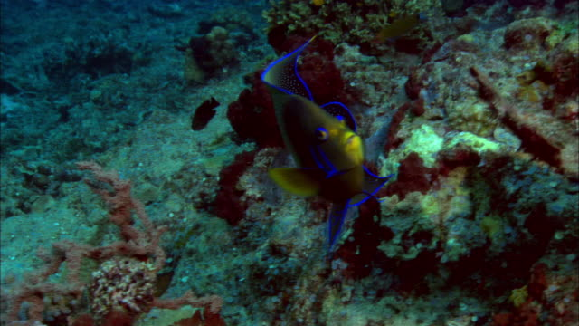 ms, papua new guinea, marine angelfish by coral reef - angelfish stock videos & royalty-free footage