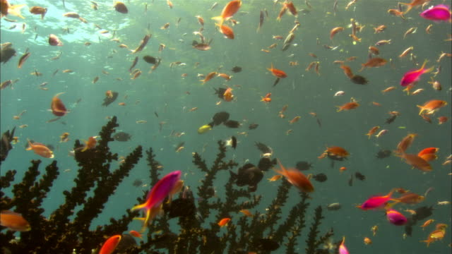 cu, papua new guinea, multicolored anthias swimming by coral - multi coloured stock videos & royalty-free footage