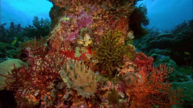 ms, papua new guinea, multicolored corals - corallo molle corallo video stock e b–roll