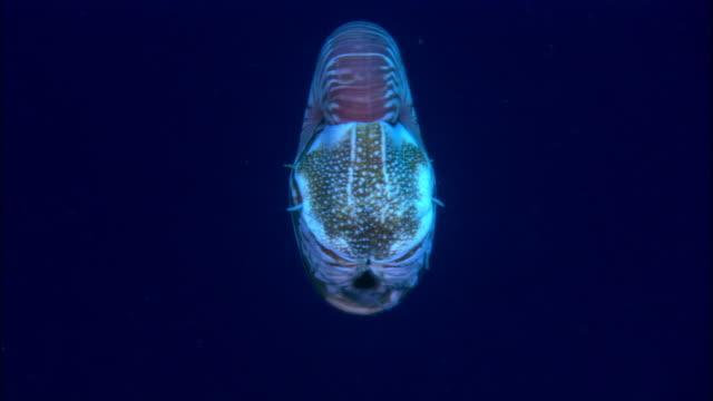 MS, Papua New Guinea, Nautilus swimming in ocean