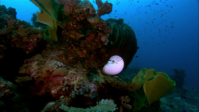 MS, Papua New Guinea, Nautilus swimming in ocean