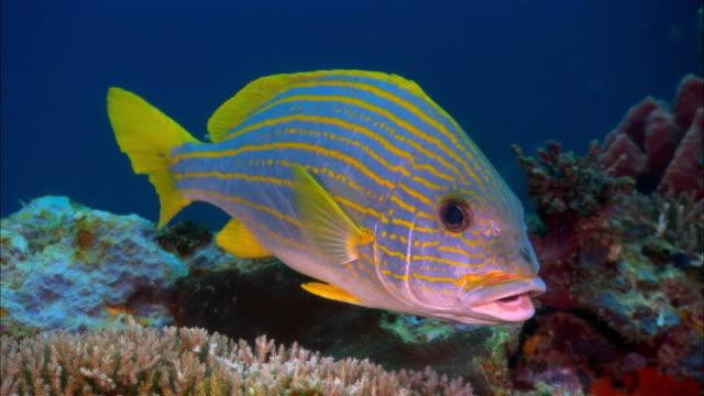 cu, papua new guinea, orange-lined sweetlip by coral reef - sweetlips stock videos & royalty-free footage
