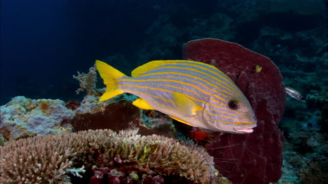 ms, papua new guinea, orange-lined sweetlip by coral reef - sweetlips stock videos & royalty-free footage