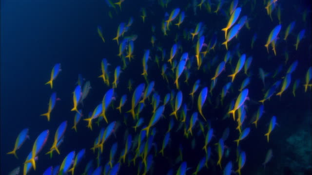 ms, papua new guinea, school of fusiliers swimming in ocean - school of fish stock videos & royalty-free footage