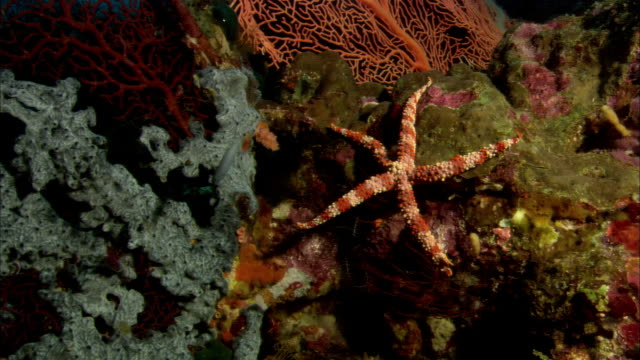MS, Papua New Guinea, Sea Star on corals