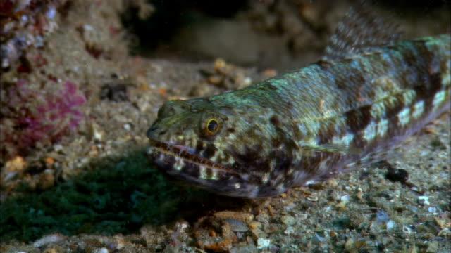 cu, papua new guinea, two-spot lizardfish at ocean floor - lizardfish stock videos & royalty-free footage