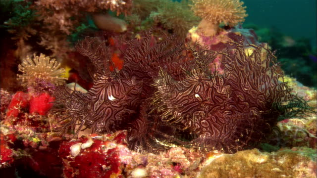 cu, papua new guinea, weedy scorpionfishes in coral reef - camouflage stock videos & royalty-free footage