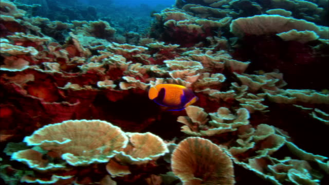 ms, papua new guinea, yellow mask anglefish  by coral reef - 20 seconds or greater stock videos & royalty-free footage