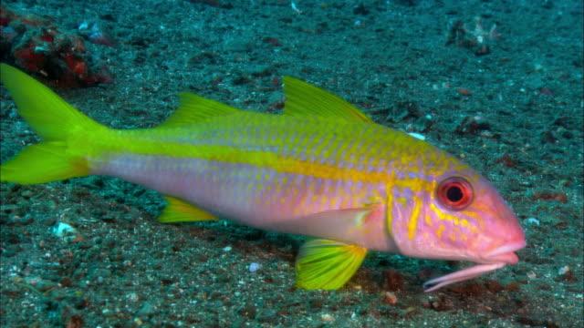 cu, papua new guinea, yellow-stripe goatfish at ocean floor - goatfish stock videos & royalty-free footage