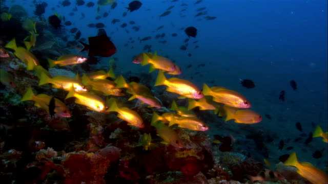vídeos de stock, filmes e b-roll de ms, papua new guinea, yellow-stripe snappers by coral reef - peixe tropical