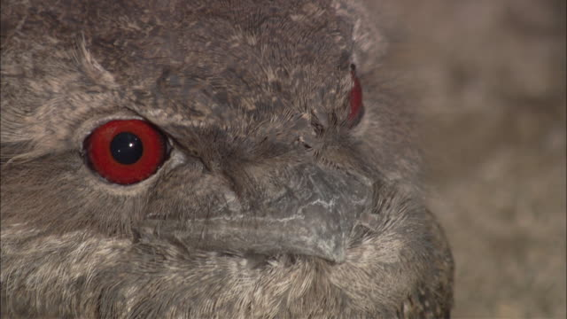 a papuan frogmouth owl has red eyes and a grey, furry body. - grey eyes stock videos & royalty-free footage