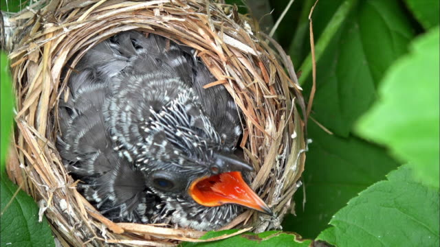 Paradoxornis webbianus feeding baby cuckoo bird insdie the nest at Odaesan Mountain