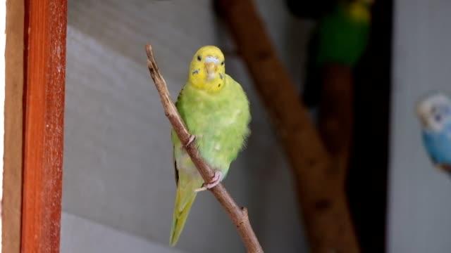 Wellensittich grün, gelb Papageien halten auf Ast mit sauberen Feder