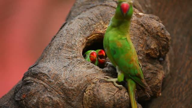 vidéos et rushes de perruche nest - nid