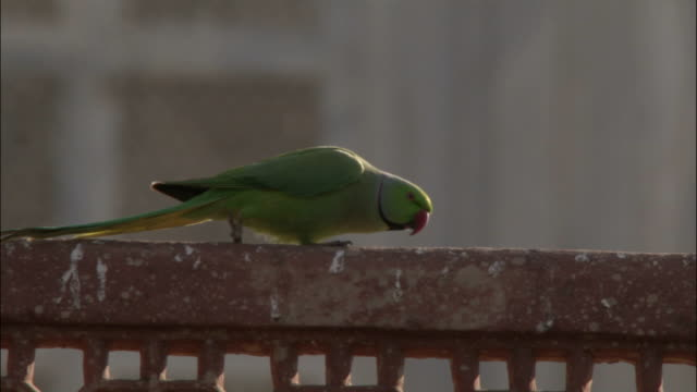 Parakeet struts along parapet on Tomb of Akbar the Great Available in HD.