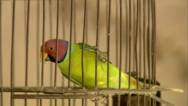 a parakeet uses its mouth to climb down the side of a cage. - nutztier oder haustier stock-videos und b-roll-filmmaterial