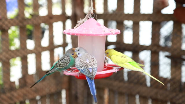 parakeets (hd) - budgerigar stock videos & royalty-free footage