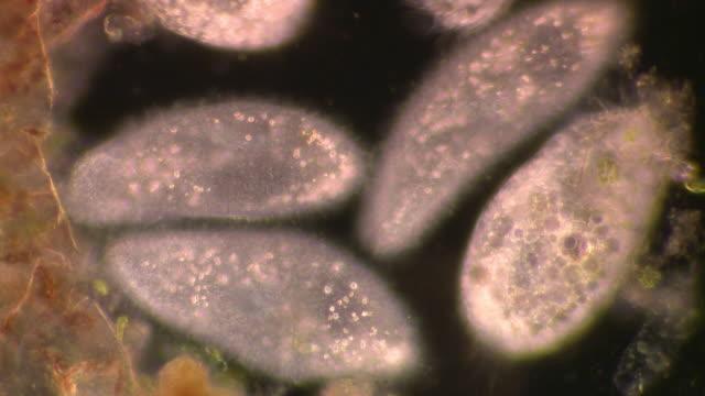 vídeos de stock, filmes e b-roll de paramecia moving around with cilia waving, dark field illumination - ciliado