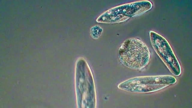 paramecium and didinium ciliates - paramecio video stock e b–roll