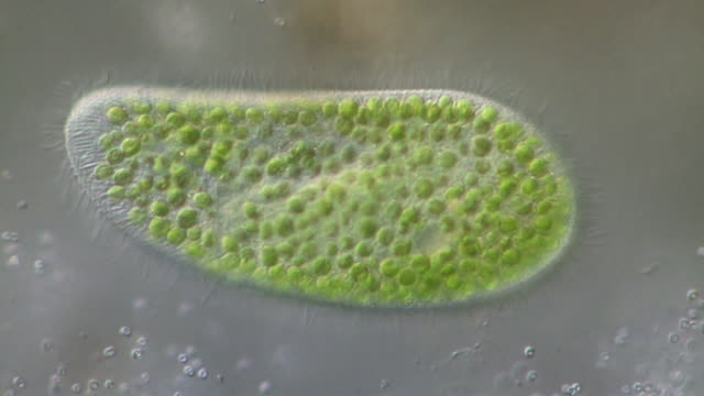 paramecium bursaria and its symbiotic relationship with the green alga called zoochlorella. - microbiologia video stock e b–roll
