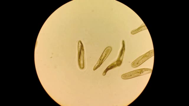 paramecium caudatum ciliates - paramecio video stock e b–roll