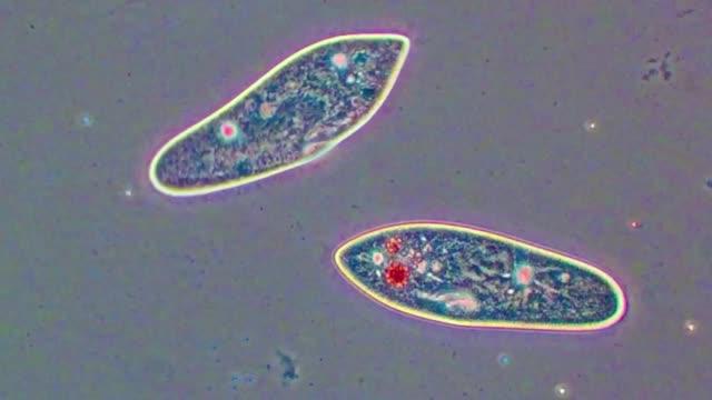 vidéos et rushes de paramecium caudatum protozoan - paramécie