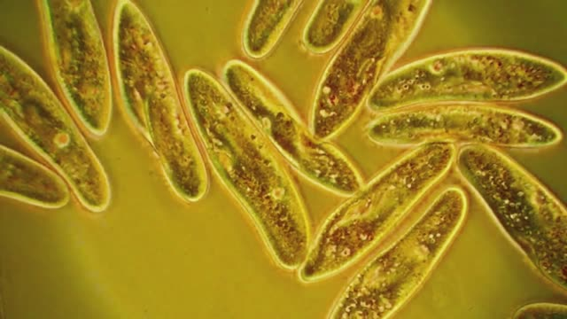 paramecium caudatum - paramecio video stock e b–roll