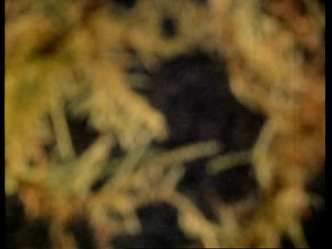 wa paramecium in weed - organismo unicellulare video stock e b–roll