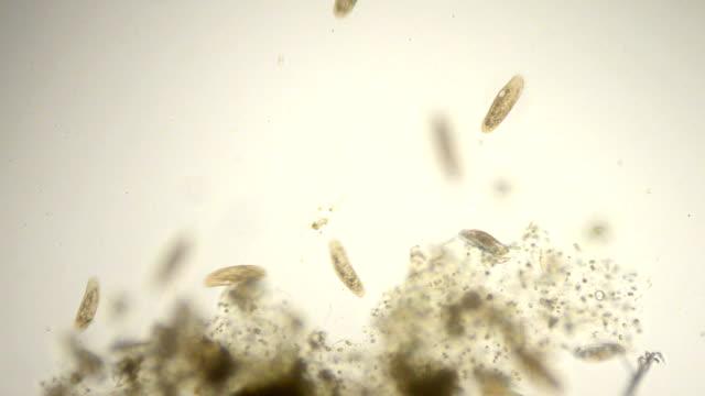 paramecium micrograph - paramecium stock videos and b-roll footage