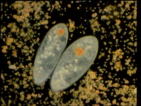 cu paramecium, protozoa with others moving around it - unicellular organism stock videos and b-roll footage