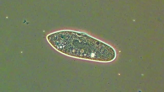 paramecium releasing trichocysts - paramecio video stock e b–roll