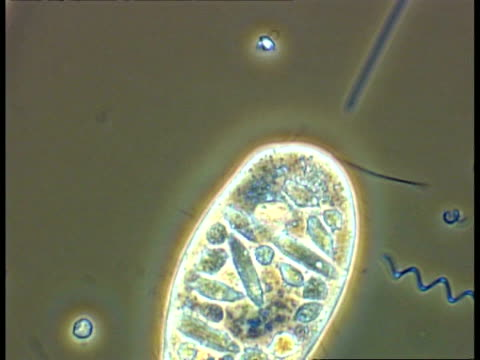 paramecium, showing organelles clearly, and spirochaeta and other bacteria moving in pond water, phase contrast - organismo unicellulare video stock e b–roll
