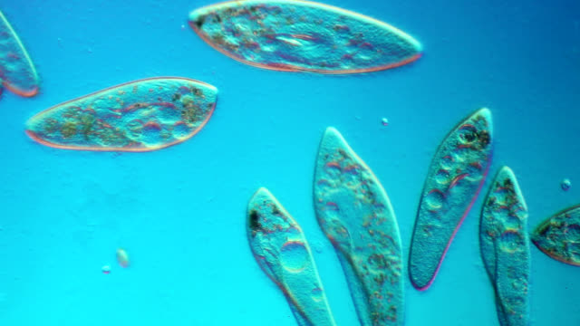 paramecium swimming in pond water - bacterium stock videos & royalty-free footage