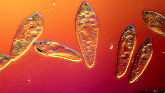 stockvideo's en b-roll-footage met paramecium swimming in pond water - microbiologie