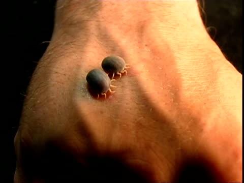 Parasite/Vector - African Ticks (Ornithodorus moubata), 2 ticks on human skin