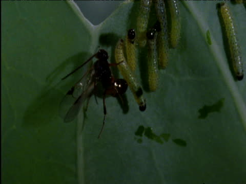 parasitic cortesia wasp injects eggs into cabbage white butterfly caterpillar uk - stechen stock-videos und b-roll-filmmaterial