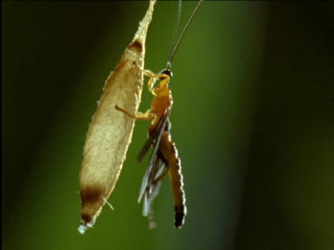 parasitic wasp grooms its wings and abdomen as it clings to its cocoon - parasitic stock videos & royalty-free footage