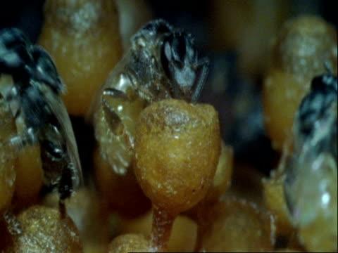 CU Parasitoid wasp, Mesocomys pulchriceps, on egg, Botswana, Africa