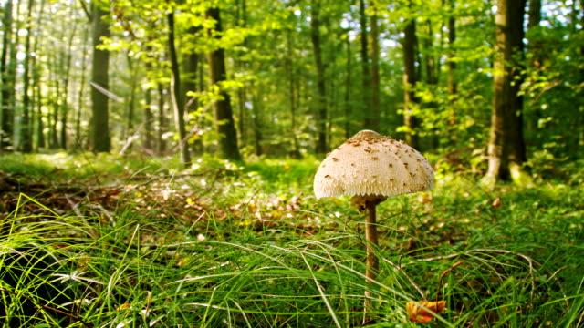 vídeos de stock, filmes e b-roll de ws cogumelo frade na floresta - raw footage