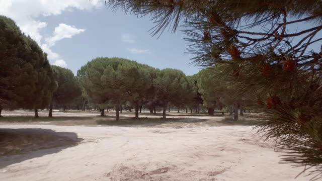 vídeos y material grabado en eventos de stock de bosque de pinos parasol - pinar