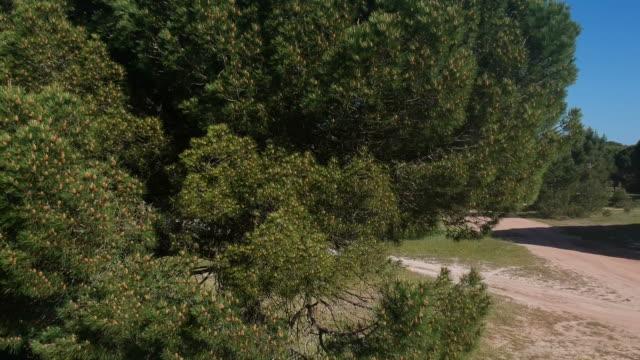 parasol pine forest - kiefernwäldchen stock-videos und b-roll-filmmaterial