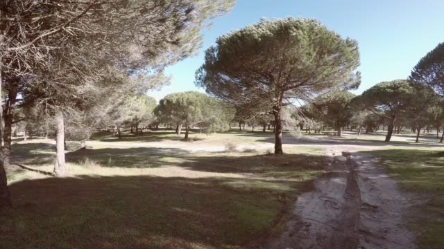 parasol pine tree forest in portugal - pinaceae stock videos & royalty-free footage