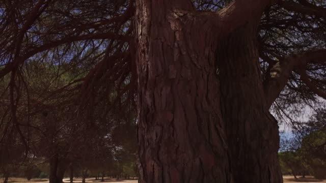 vídeos y material grabado en eventos de stock de bosque de pino parasol - pino conífera