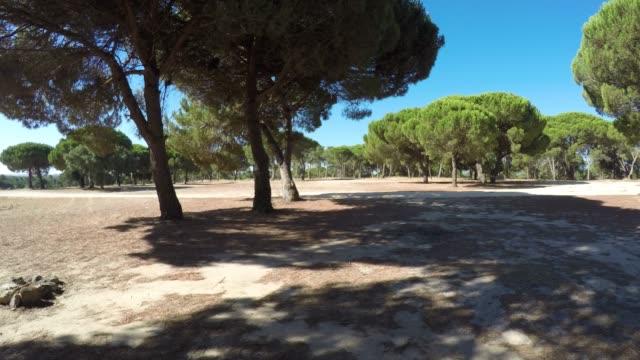 vídeos de stock e filmes b-roll de parasol pine trees in portugal - pinhal