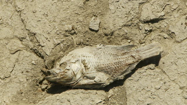 parched earth dead fish - drought stock videos & royalty-free footage