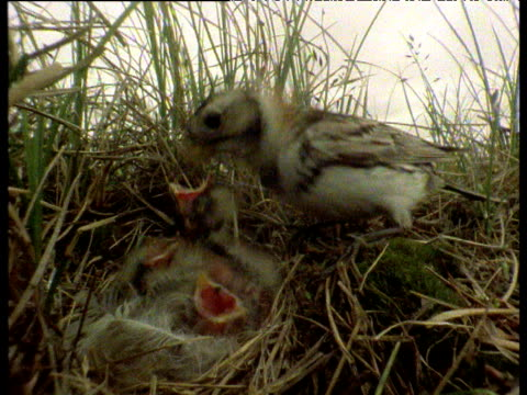 Parent Lapland buntings feed ravenous young in nest on ground, Arctic