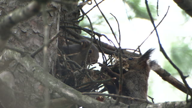 parent-child squirrels at their nest - squirrel stock videos and b-roll footage