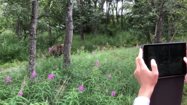 park ranger chasing a bear which has salmon in the mouth, and tourist taking picture with tablet in katmai national park - bär stock-videos und b-roll-filmmaterial